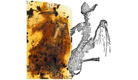 琥珀现最完整一亿年古鸟 长约5厘米与最小鸟吸蜜蜂鸟一般大